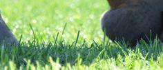 Koude nachten in het zonnige voorjaar zorgen voor een hoog suikergehalte in voorjaarsgras. Grote inname hiervan vergroot de kans op hoefbevangenheid bij paarden, zeker bij gevoeligheid voor insulineresistentie.
