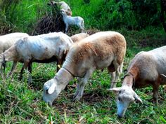 Feed My Sheep. Part 2 Sheep behave like sheep as long as they can Trust their Shepherd.