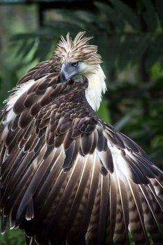 The mighty Philippine eagle also known as monkey-eating eagle