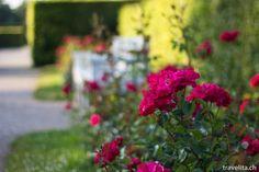 10'000 Rosen zum Verlieben