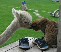 <3<3<3 | Meet Lacey The Alpaca And Her Cute Kitten Friends