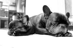 5 spannende Fakten über die Französische Bulldogge