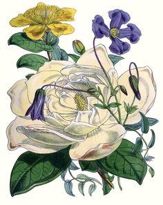 Floral Botanical - White Rose