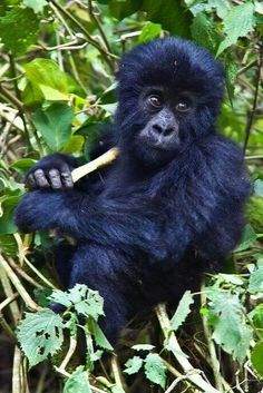 Absolutely Gorgeous - Help to save the Gorilla