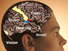 synesthesia picture - Google - brain. Touch. Taste. Hearing. Smell. Vision.