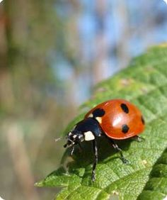 Garden Bugs - Lady Beetles are voracious aphid eaters. Organic Gardening, Gardening Tips, Flower Gardening, Amazing Gardens, Beautiful Gardens, Garden Bugs, Diy Garden Decor, Garden Ideas, Beneficial Insects