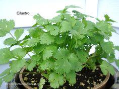 indoor cilantro - Google Search Indoor Planters, Cilantro, Homesteading, Herbs, Google Search, Indoor Window Boxes, Herb, Medicinal Plants