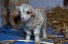 https://www.facebook.com/furbabiesarethebestbabies?ref=hl cute,rare cashmere goat.