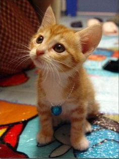 Er, um, I don't really have a joke for this one. This is just a super cute orange kitten! Look at it! Look how cute he is! He's so cute. (via ebiflider)