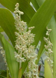 eria | Eria bicristata | Orchids Online