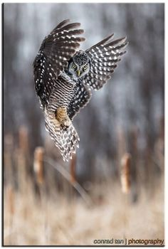 This Northern Hawk Owl was so engrossed in hunting Owl Photos, Owl Pictures, Beautiful Owl, Animals Beautiful, Owl Bird, Pet Birds, Nocturnal Birds, Burrowing Owl, Desenho Tattoo