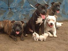 The colours of my three staffies though unfortunately I lost my white one many years ago. R.I.P. Ziggy Star my beautiful white staffy