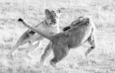 Playing lion cubs B&W - Playing lion cubs
