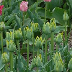 This tulip is called Green Bizarre. Not one bit bizarre http://www.thetulipgallery.com