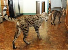 """Savannah owners describe them as """"a cat that looks like a leopard with the temperament of a dog."""" 