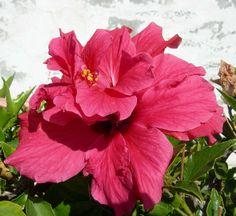 Eine volle Hibiskusblüte, gesehen auf dem Weg zum Markt