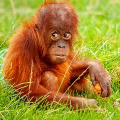 It was not me Cute Orangutan