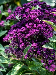 Heliotrope-best in smell-Gather some friends around heliotrope in bloom and ask what it smells like. Some say cherry pie, others say vanilla, and yet others say grapes. No matter what you think it smells like, you're sure to love the sweet, rich fragrance that emanates from the lovely clusters of purple, blue, or white flowers