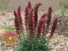 Red Feathers (Echium amoenum), hardy which is huge for a echium. Native to the Caucasus Mtns, grows in clay soil. Accepts moderate to xeric watering. Sun Loving Plants, Full Sun Plants, Rock Garden Plants, Garden Pests, Flower Gardening, Organic Gardening, Purple Smoke Bush, Plant Images, Red Feather