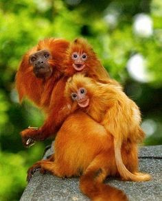 Endangered Golden Lion Tamarins