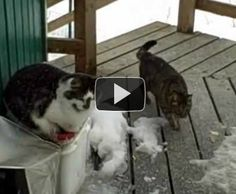 A bald eagle, a fox, and 2 cats hanging out on an Alaskan front porch