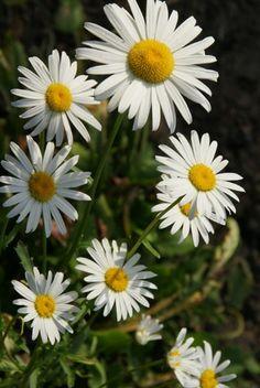 Camomile - Daisy