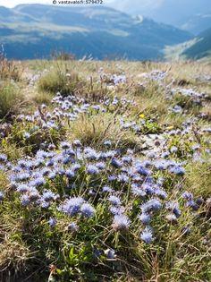 Vuoriston kukkia - kukka kukat kukkia violetti lila kesä vuoristo ruoho luonto…