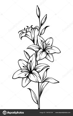 Drawing A Lily Flower with 1 Closed Bud. Drawing A Lily Flower with 1 Closed Bud. Lily Flowers Vector Black and White Contour Drawing Stock Easy Flower Drawings, Easy Disney Drawings, Pencil Drawings Of Flowers, Flower Sketches, Drawing Flowers, Lilly Flower Drawing, Flowers To Draw, Silk Flowers, Beautiful Flower Drawings