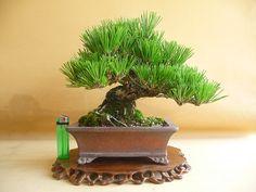 Kusy bonsai Shizuoka bonsai mech St. Gardens