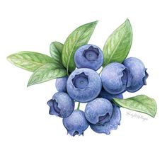 Blueberries, for Green Valley Organics packaging redesign by Kendyll Hillegas Pineapple Illustration, Fruit Illustration, Food Illustrations, Botanical Illustration, Watercolor Illustration, Watercolor Fruit, Fruit Painting, Fruits Drawing, Food Drawing