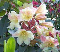 Rhododendron 'Delp's Sunsheen'