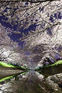Line of cherry trees at night ~ Gojo-kawa river, Aichi, Japan