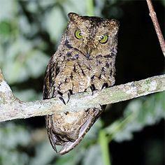 Taliabu Masked Owl Tyto nigrobrunnea - Google Search ... - photo#37