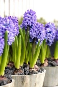 This is a soft lilac blue prepared hyacinth with a wonderful fragrance.
