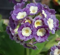 Primula x pubescens 'Exhibition Blue' 3 flower Primula Denticulata, Primula Auricula, Blue Plants, Alpine Plants, Primroses, Evening Primrose, Rosettes, Blue Flowers, Garden Plants