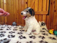Little Jack Russell Terrier.