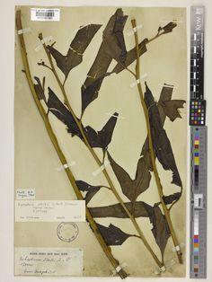 Xyropteris stortii, monotypic