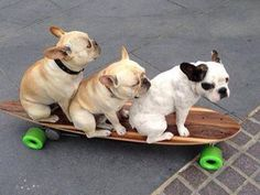 Skateboarding French Bulldogs
