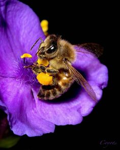 Bee in the Spiderwort by Kenton Miller on Cool Insects, Bugs And Insects, Beautiful Creatures, Animals Beautiful, Animals And Pets, Cute Animals, I Love Bees, Bees And Wasps, Bee Friendly