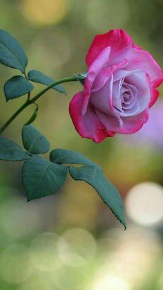Obrigado por tudo... ♡♡♡♡ ! Beautiful Flowers Wallpapers, Beautiful Rose Flowers, Love Rose, Flowers Nature, Exotic Flowers, Amazing Flowers, My Flower, Pretty Flowers, Purple Roses