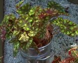 Begoña tigre o begonia bowerae Begonia, Fingers, Green, Plants, Shade Plants, Compost, Growing Up, Flowers, Green Plants