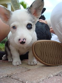 """Fantastic """"corgis puppies: detail is readily available on our site. Have a look and you wont be sorry you did. Corgi Dog, Pet Dogs, Dog Cat, Weiner Dogs, Blue Merle Corgi, Cute Puppies, Dogs And Puppies, Adorable Dogs, Baby Animals"""