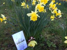 """Spring Poetry Journal: """"Daffodowndilly"""" and Our Daffodil Fairy"""