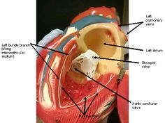 Left ventricle internal labeled.jpg (460×345)