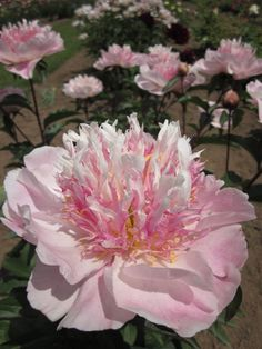 Peony 'Do Tell', one of the frilly peonies growing at the peony farm.