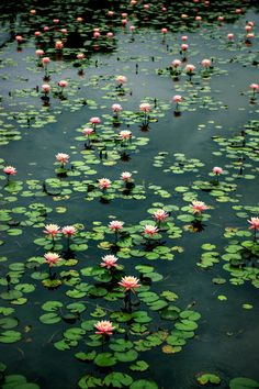 Image uploaded by FX. Find images and videos about photography, flowers and water on We Heart It - the app to get lost in what you love. Plant Aesthetic, Nature Aesthetic, Lotus Flower Pictures, Lotus Flowers, Water Flowers, Pink Flowers, Lily Pond, Flower Wallpaper, Belle Photo