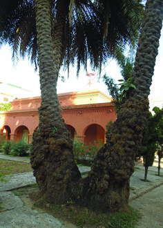Parsi (Zoroastrian) cemetery & Temple constructed 1898- One of the many palm trees planted in the lush compound of the cemetery. Rawalpindi Pakistan.