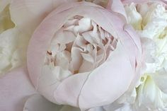 light pink rose almost white..