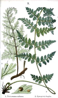 Botanical Prints of Ferns | ... Botanical – Trees and Leaves – 4 Botanical – Indian Ferns