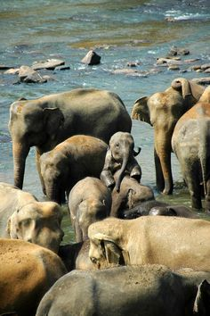Elephants love reunions. They recognize one another after years and years of separation and greet each other with wild, boisterous joy. There's bellowing and trumpeting, ear flapping and rubbing. Trunks entwine.